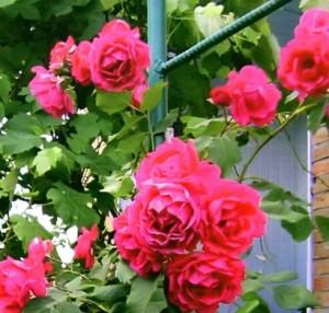 Идеальные розы